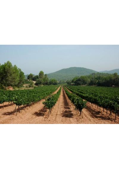 Im Weinberg von Mas Oliveras, Katalonien