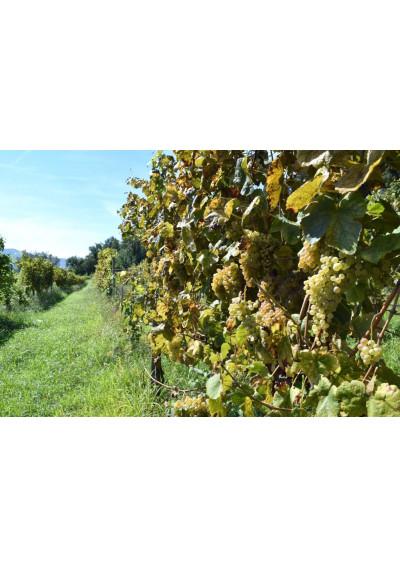 Alvarinho-Weinberg in Vinho Verde