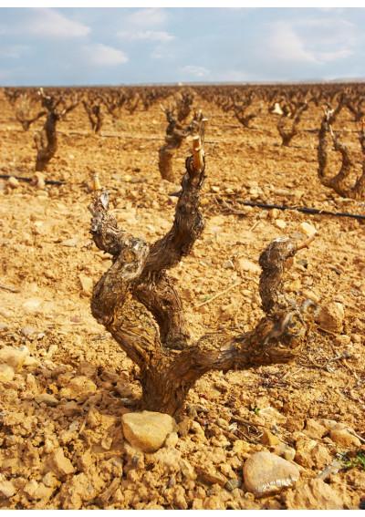 Alte Rebe im Weinberg der Bodega Pastor Diaz in Aldeanueva de Ebro