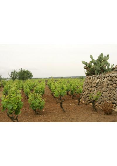 Im Weinberg Terre di Campo Sasso