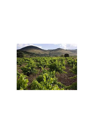 Weinberg der Bodegas Borja