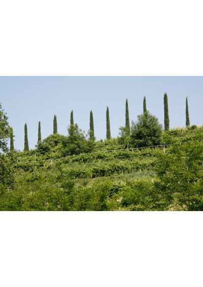 Im Weinberg der Azienda Agricultura Gorgo