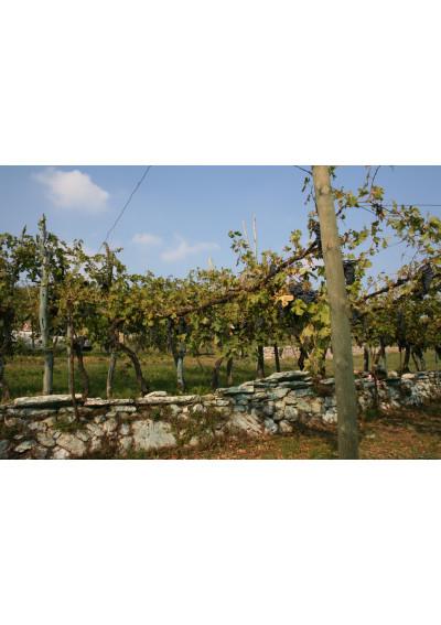 Im Weinberg der Azienda Agricola Stefano Accordini